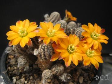 Rebutia diersiana (seeds)