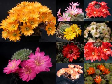 Rebutia  mixture (seeds)