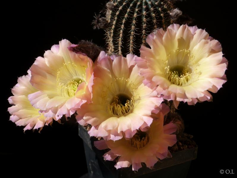 "Echinopsis Hybrid ""purple-yellow"""